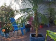 Pygmee Date Palm