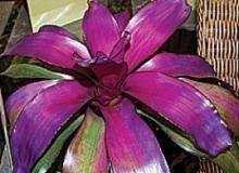 Bromeliad Neo Regeli Voodoo