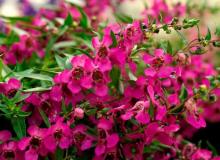 Angelonia Carita Raspberry