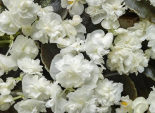 Begonia Double Up White