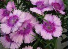 Dianthus Diana Lavender Picotee