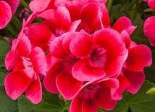 Geranium Pretty Little Pink Splash
