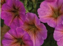 Petunia Petchoa Supercal Sunray Pink
