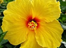 Hibiscus Island Wind